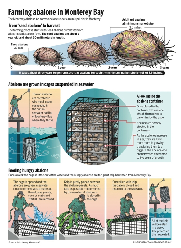 Who knew you could farm Abalone? Infographic explains sustainable farming of red abalone in Monterey Bay